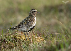 Golden plover (Andy Davis Photography) Tags: pluvialisapricaria plover wader uplands outerhebrides evening sony