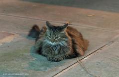 Schizzo notte (RoLiXiA) Tags: sardegna sardinia sardaigne sardinien cerdeña gattoeuropeo gatto felixcatus felino schizzo soriano micio nikond90 sigma105