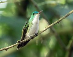 015A5751 Andean Emerald (suebmtl) Tags: bird ecuador pichinchaprovince mindo hummingbird amaziliafranciae coth5