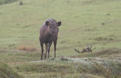 Sambar - Sambar deer (marcdeceuninck) Tags: nature mammals zoogdieren srilanka sambardeer sambar