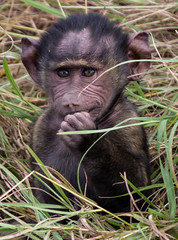Two Week Old Baby Baboon, Maasai Mara (Ray in Manila) Tags: kenya maasaimara africa baby grass monkey mara savannah baboon primate naturalworld equator savanna eos650d portrait hair ears mammal eyes