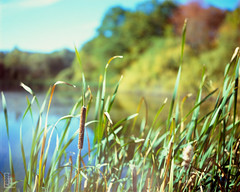 Water Grass (fs999) Tags: fs999 fschneider aficionados zinzins plaubel makina 67 plaubelmakina67 6x7 film camera filmcamera 60x70 ashotadayorso topqualityimage topqualityimageonly artcafe pentaxart corel paintshoppro paintshoppro2019ultimate 2019ultimate nikkor12880mm nikon nikkor 128 80mm 8028 gips weieren bridel steinsel luxembourg luxemburg lëtzebuerg fujifilm fujichrome velvia 100 100iso rvp velvia100 rvp100 color slidefilm slide reversible tetenal colortec e6 home development plustek opticfilm 120 scanner 2400dpi silverfast ai studio