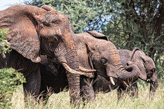 Elephant family at Tarangire, Tanzania (Markus Hill) Tags: africa travel nature animal canon tanzania safari manyara tarangire tansania 2019 elephant elefant