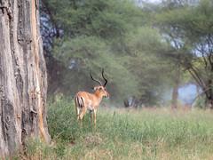 Impala at Tarangire, Tanzania (Markus Hill) Tags: africa travel canon tanzania safari arusha tarangire tansania 2019 nature animal impala tier
