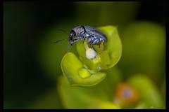 On Euphorbia (listera_ovata) Tags: anthribidae euphorbia beetle insect bug sütleğen böcek invertebrate macro makro closeup nature macrophotography naturephotography t10ringflash canonef100mm28macro sonya7ii 11 flower insectsofanatolia weevil