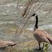 Canada Goose Family - Idaho