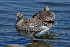 Гуменник, Anser fabalis fabalis, Bean Goose, Белолобый гусь, Anser albifrons albifrons, Greater White-fronted Goose (Oleg Nomad) Tags: гуменник anserfabalisfabalis beangoose белолобыйгусь anseralbifronsalbifrons greaterwhitefrontedgoose птицы москва bird aves moscow