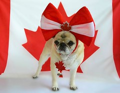 Happy Canada Day! (DaPuglet) Tags: pug pugs pet pets animal animals dog dogs canada canadaday 2019 july1st canadian mapleleaf flag red white north costume hat bow necklace celebration celebrate party summer holiday patriot fête carlin carlins chien drapeau country wethenorth portrait pose feuilledérable