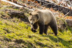 The grass is always greener (ChicagoBob46) Tags: grizz grizzly grizzlybear bear sow yellowstonenationalpark yellowstone nature wildlife ngc coth5 naturethroughthelens npc