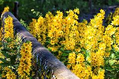 Gelb... (r.wacknitz) Tags: gelb natur nature zaun outside garden niedersachsen flower sunlight nikond5600 tamron18200 nikcollection