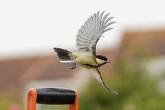 Setting Off (jillyspoon) Tags: bird tit perch settingoff greattit sony alpha a7iii scotland wings 85mm wingspan birdinflight monreith naturr sony85mm sonya7111