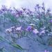 IMGP4073 Flores de duna
