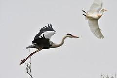 héron cendré & héron garde-boeufs 19D_4771 (Bernard Fabbro) Tags: héron cendré grey heron oiseau bird