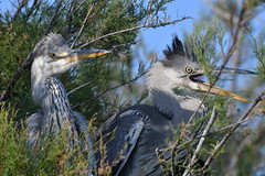 héron cendré 19D_2701 (Bernard Fabbro) Tags: héron cendré grey heron oiseau bird
