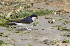 House Martin (JaneTurner68) Tags: housemartin bird sand mud collecting nestingmaterial ythanestuary aberdeen scotland canon1dmkiv canon100400mmmkiilens canon