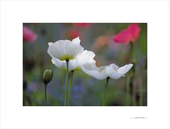 Adiós primavera, adiós (E. Pardo) Tags: primavera spring frühling amapolas poppys mohnblumen colors colores farben formas forms formen flowers flores blumen belleza beauty schönheit printemps