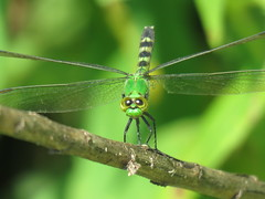 portrait package pose 1 (Cheryl Dunlop Molin) Tags: pondhawk dragonfly insect easternpondhawk erythemissimplicicollis greendragonfly flickrlounge insectswhatsbuggingyou