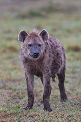 Portrait of a Spotted Hyena (Xenedis) Tags: africa afrika animal eastafrica gamedrive grass hyena kenya maasaimara maranorthconservancy narokcounty republicofkenya riftvalley safari savannah wildlife