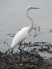 Great Egret (Whidbey LVR) Tags: lyle rains lylerains olympus em5ii florida orlando kissimmee swamp wildlife egret