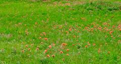 Orange in Wild (Robert Cowlishaw (Mertonian)) Tags: sublime ineffable beauty beautiful missingsophia canon powershot sx70hs canonpowershotsx70hs mertonian robertcowlishaw awe wonder fieldwild orange green roadtrip2019 southdakota kneeling overwhelming wildflowers