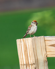 Chipping Sparrow 1 (AChucksEyeView) Tags: chipping sparrow fence nature feathers bird wildlife colors flight
