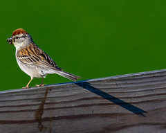 Chipping Sparrow 2 (AChucksEyeView) Tags: chipping sparrow fence nature feathers bird wildlife colors flight