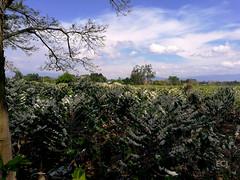 Campos de café floridos/ Coffee fields in bloom (vantcj1) Tags: cielo nubes arbustos café cafetal cafeto plantación árboles verde vegetación naturaleza campo rural paisaje ramas flores floración hacienda tronco