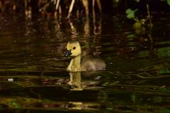 19WSY068 Canada goose goslings, Wolseley (bentolley1) Tags: england staffordshire animal bird goose canadagoose gosling water
