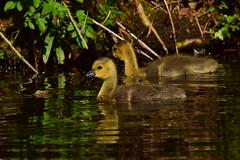 19WSY066 Canada goose goslings, Wolseley (bentolley1) Tags: england staffordshire animal bird goose canadagoose gosling water