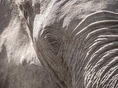 (Markus Hill) Tags: arusha tansania africa travel elephant nature animal canon tanzania safari afrika elefant tier manyara 2019