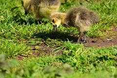 19WSY076 Canada goose gosling, Wolseley (bentolley1) Tags: england staffordshire animal bird goose canadagoose gosling