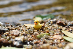 Feeling Like A Duck Out Of Water..... (MinifigNick) Tags: afol duck lego quack rubberduck