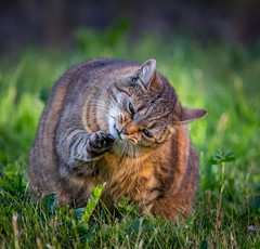 Something between my teeth! (Topolino70) Tags: canon5dmarkiv cat teeth tooth mouth paw stuck green grass