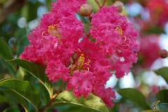 Pink Flowers And Green Leaves. (dccradio) Tags: lumberton nc northcarolina robesoncounty outdoor outdoors outside nature natural june summer summertime thursday thursdayevening evening goodevening nikon d40 dslr sky bluesky crepemyrtle crapemyrtle flower floral flowering tree flowers bloom blooms blooming blossom blossoms blossoming foliage greenery leaves pink