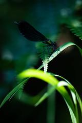 Glow in the dark (David M. Stucki) Tags: new david color colour macro nature contrast canon insect outside schweiz switzerland natur manuel makro insekt neu stucki makrowelt ef100mmf28lmacroisusm canoneos5dmarkiv belpau oberebelpau gebänderteprachtlibelle calopteryxsplendens bandeddemoiselle caloptéryxéclatant libelle ordonata damselfly zygoptera bokeh