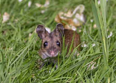 wood mouse (alderson.yvonne) Tags: mouse garden uk woodmouse yv