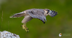 Peregrine Falcon (Simon Stobart) Tags: peregrine falcon falco peregrinus flying leap cliff juv north england uk