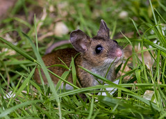 wood mouse (alderson.yvonne) Tags: woodmouse mouse garden uk yvonne yvonnealderson county durham countydurham