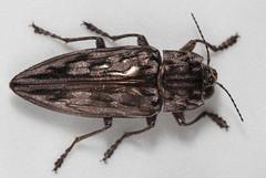 Very shiny beetle (cotinis) Tags: insect beetle coleoptera buprestidae chalcophora chalcophoravirginiensis northcarolina piedmont canonefs60mmf28macrousm inaturalist sculpturedpineborer
