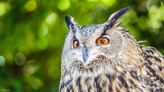 7007 - OLW (✵ΨᗩSᗰIᘉᗴ HᗴᘉS✵66 000 000 THXS) Tags: owl hibou nature animal belgium europa aaa namuroise look photo friends be yasminehens interest eu fr party greatphotographers lanamuroise flickering sonydscrx10m4 sliderssunday hss