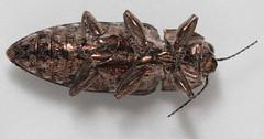 Very shiny beetle (underside) (cotinis) Tags: insect beetle coleoptera buprestidae chalcophora chalcophoravirginiensis northcarolina piedmont canonefs60mmf28macrousm inaturalist sculpturedpineborer