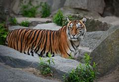 Tigermutter Mayang (sigridspringer) Tags: natur tiere säugetiere raubkatzen raubtiere sumatratiger mayang friedrichsfelde tierpark berlin
