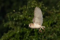 Barn Owl (robin elliott photography) Tags: barnowl barnowls owl owls wings feathers mouse flight