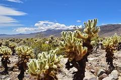 Cholla Cactus Garden (2) (AntyDiluvian) Tags: california joshuatree joshuatreenationalpark desert mountains nationalpark pintobasinroad cholla cactus chollacactusgarden