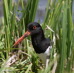 Oystercatcher (johnthistle) Tags: wild green bird canon reeds oystercatcher herts blue white black water avian orange tring wilstone lake mud feeding dirty