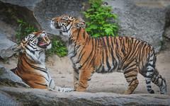 Tigersprache (sigridspringer) Tags: natur tiere säugetiere raubtiere raubkatzen sumatratiger tierpark friedrichsfelde