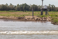 Wild Horses along The Waal River in The Netherlands (Jill Clardy) Tags: cruise rhine viking river gendt gelderland netherlands 201906039l8a5757 konik wild horses feral polish pony ponies