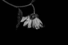 Flor (barbara_babi_ig) Tags: gota flor pb blackandwhite pretoebranco morte