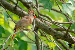 Female Cardinal in Tree (John Brighenti) Tags: rockville maryland twinbrook bird cardinal birb animal wildlife outdoors outside nature backyard trees green bokeh leaves passerine sony alpha a7rii ilce7rm2 nex ilce emount femount sel100400gm gm gmaster zoom telephoto 100400mm sonyshooter bealpha