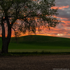 20190610 Id Palouse-0274 (Dan_Girard_Photography) Tags: 2019 dangirardphotography idaho washington sunset tree silhouette palouse thepalouse hills